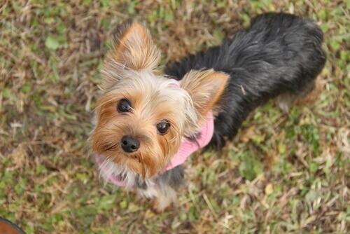 6 cose che dovete sapere sui cani di piccola taglia