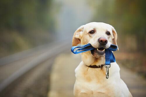 Come insegnare al cane ad usare il collare?