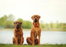 cani grandi