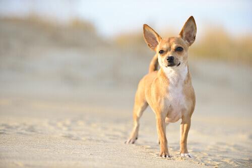 I Chihuahua: ideali per le case piccole