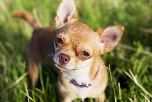 I Chihuahua sono più aggressivi dei Pitbull