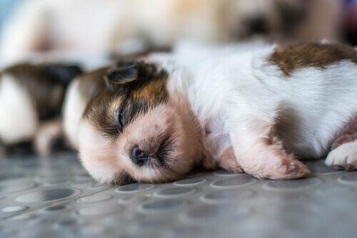Quanti cuccioli possono dare alla luce i cani?