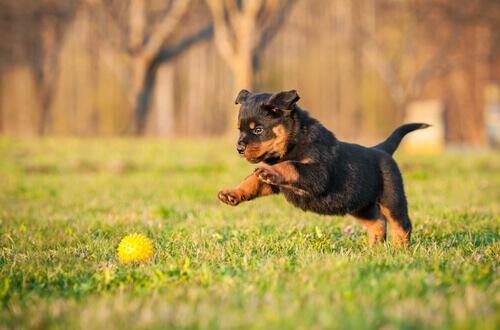 Il Rottweiler: scoprite il carattere di questo cane