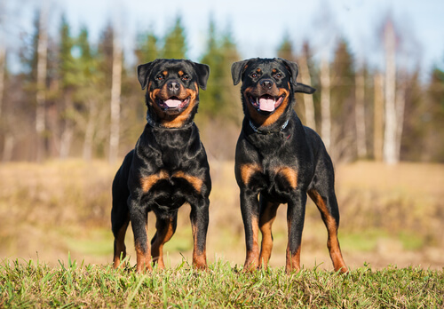 Coppia di Rottweiler