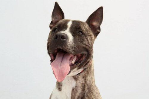 Ecoy, il cane rubato per essere impiegato nei combattimenti illegali, cerca casa