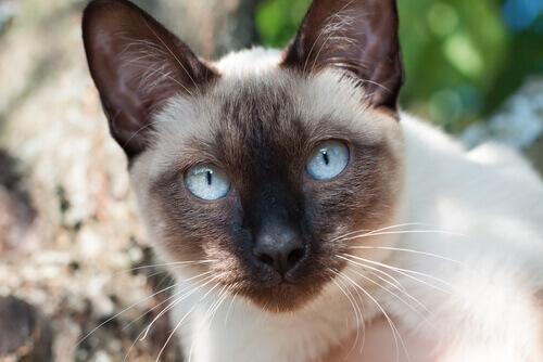 Il Siamese, un gatto molto elegante