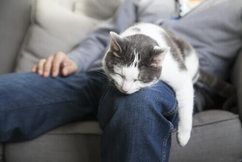 gatto dorme sulle gambe del padrone