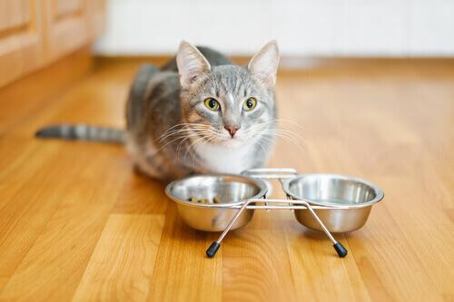 gatto grigio con due ciotole