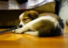 Arabia Saudita, pena di morte a chi possiede un cane