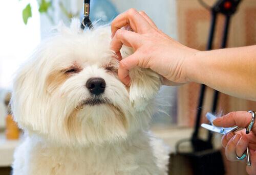 Il vostro cane ha il pelo duro? Scoprite la tecnica dello Stripping!