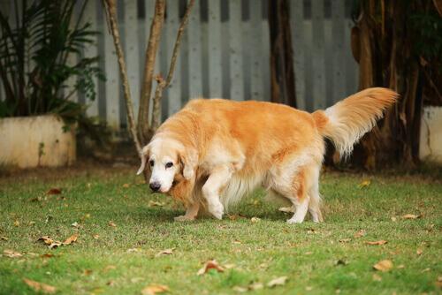 Come sapere se il cane ha l'artrite