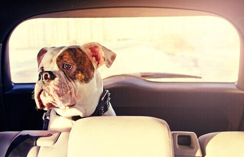 Come evitare il mal d'auto del cane