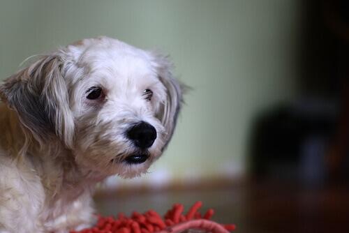 Sapevate che anche i cani possono essere intolleranti al glutine?