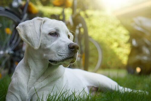 Esiste la chemioterapia per cani?