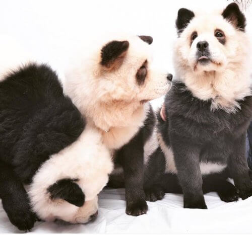 Chow Chow panda: è un cane o è un panda?