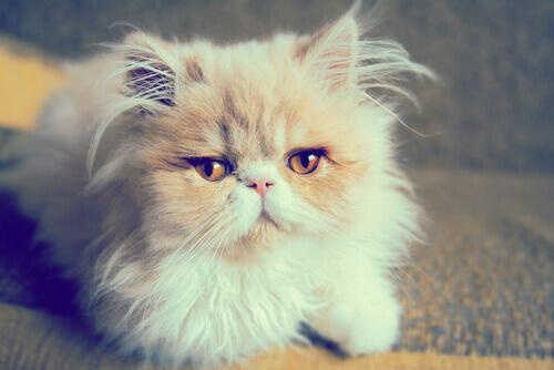 I gatti persiani: pura aristocrazia turca