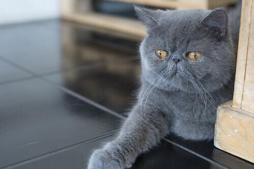 caratteristiche gatti persiani