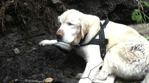 Una Labrador cieca sopravvive una settimana in un bosco