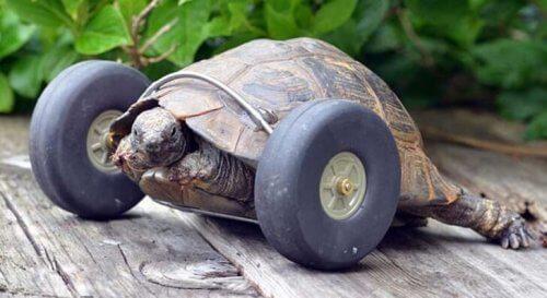 Ecco la tartaruga con la protesi a rotelle