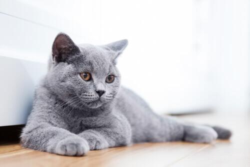 13 razze di gatti che non pensavate esistessero