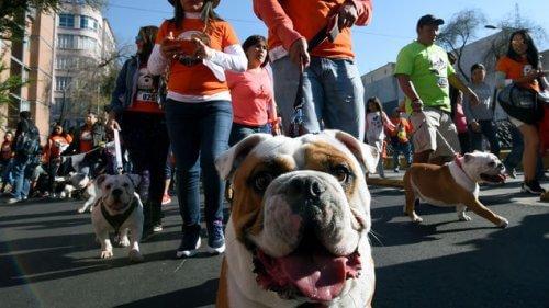 Centinaia di bulldog sfilano a caccia di record