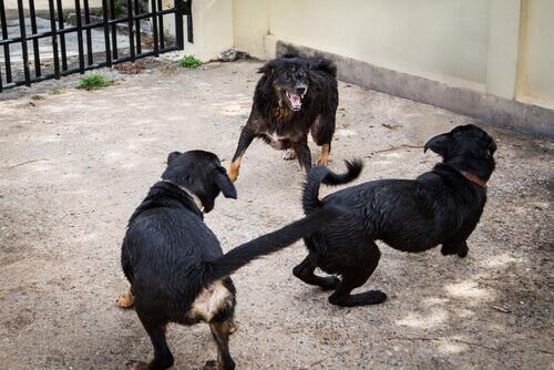 Combattimenti illegali, la polizia salva 230 cani