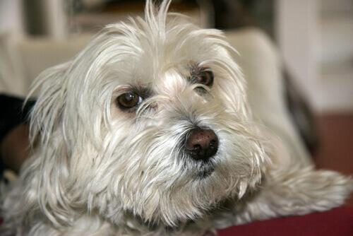 Come calmare la tosse del vostro cane