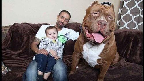 Hulk, il Pitbull più grande del mondo