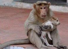 La scimmia che si prende cura dei cani