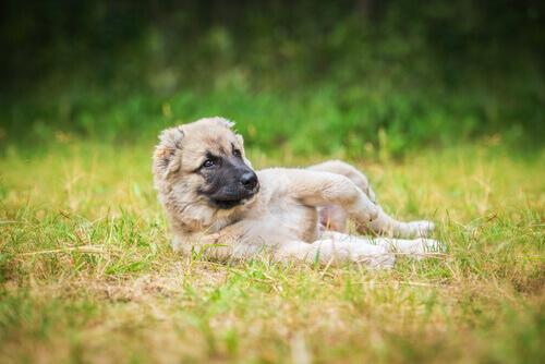 Perché i cani amano rotolarsi nella sporcizia?