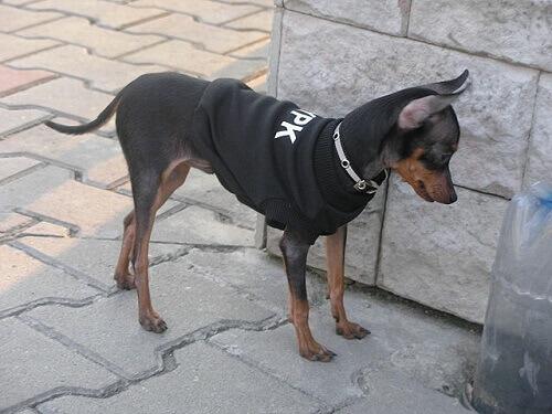 Prague ratter, un cagnolino piccolo e adorabile
