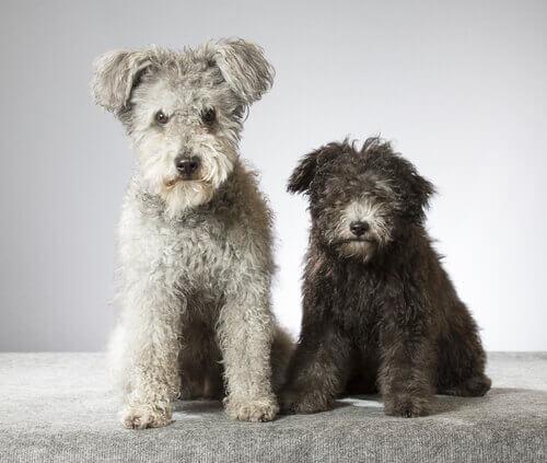 Pumi, una nuova razza di cane