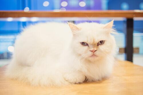 Si possono addestrare i gatti?
