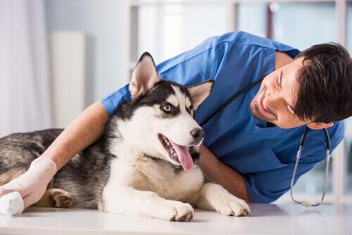 husky dal veterinario soffre di parvovirosi canina