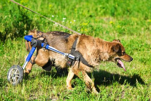 Scoprite la vita dei cani in sedia a rotelle