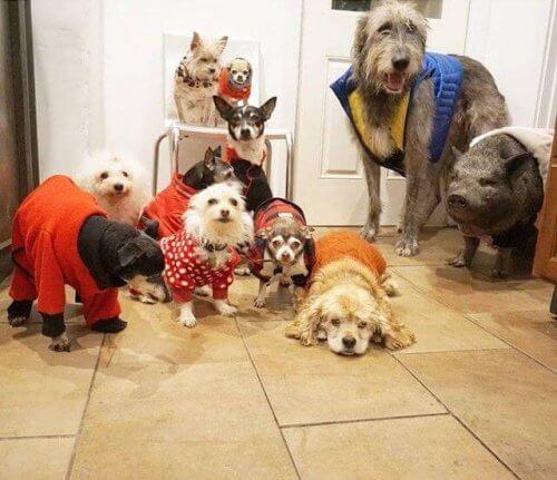 Un uomo adotta 10 cani anziani ed un maiale per salvarli