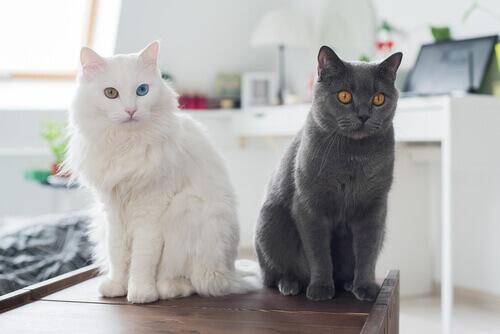 Perché molte persone sono allergiche ai gatti?