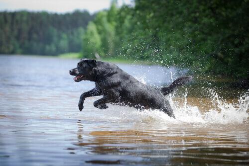 Un labrador ha salvato due cani in una canoa