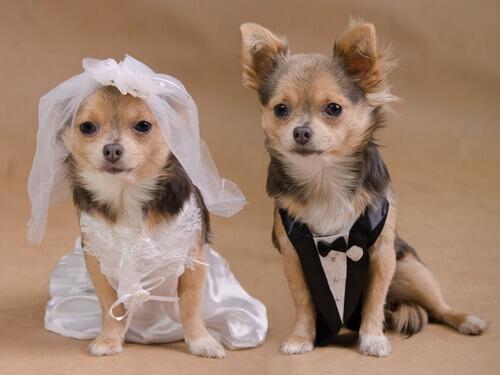 Un matrimonio tra cani