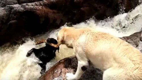 Un labrador salva un altro cane che rischiava di affogare
