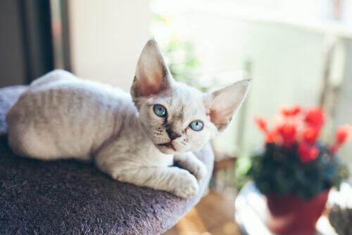 Il Devon rex, un gatto che ha sempre bisogno di compagnia