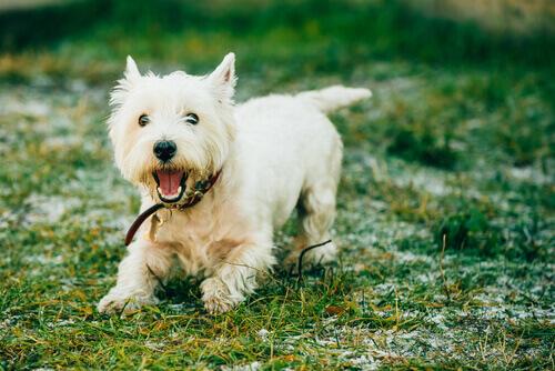 7 razze di cani che non perdono molto pelo