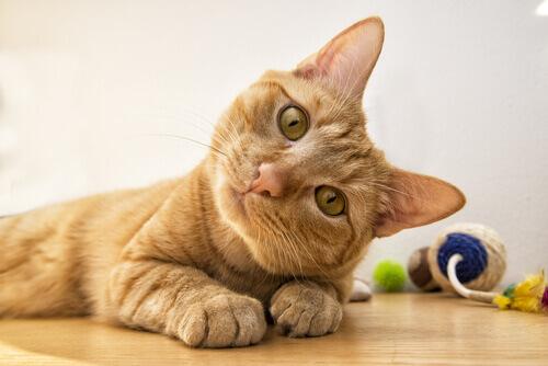 Come capire il vostro gatto osservando il suo viso