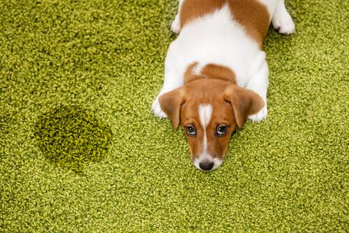 Come sapere se il cane soffre di calcoli renali