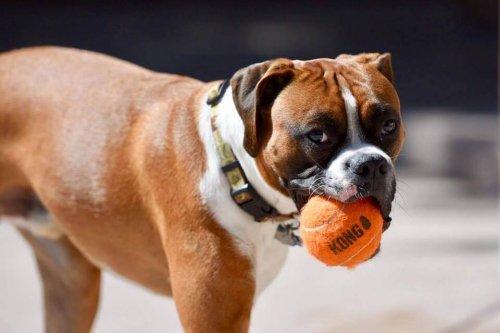 Kong: il nuovo giocattolo per cani