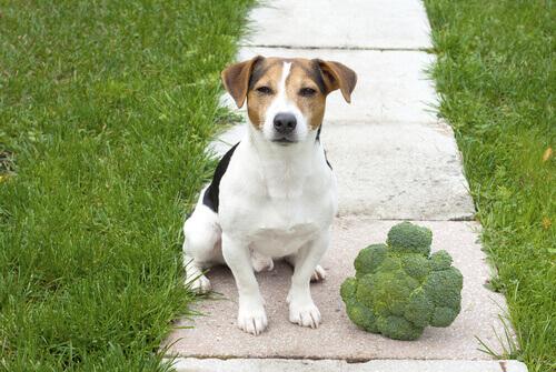 Broccoli nella dieta del cane