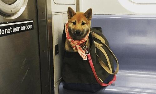 Cosa fare per portare i cani sulla metropolitana di New York?