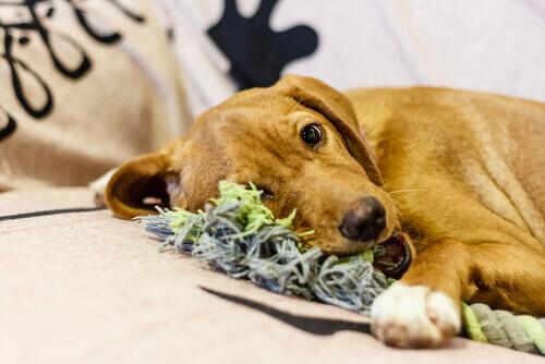Realizzare giochi per il proprio cane con indumenti vecchi