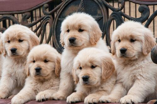 Perché esistono tante razze di cani nel mondo?