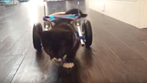Cassidy, un micio che può ricominciare a camminare grazie alle nuove tecnologie